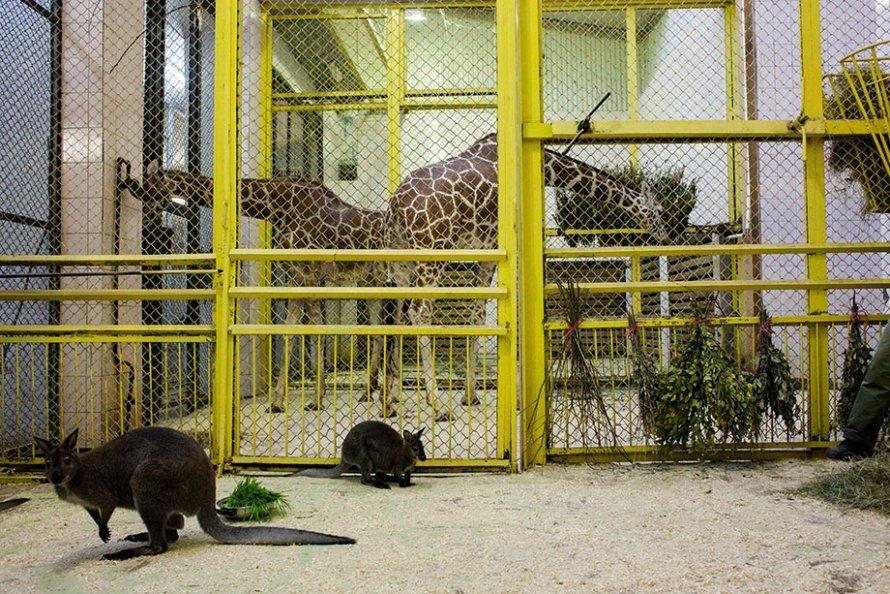 Жирафы в Ленинградском зоопарке